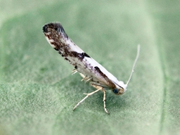 Argyresthia bonnetella