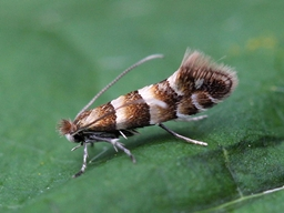 Phyllonorycter nicellii