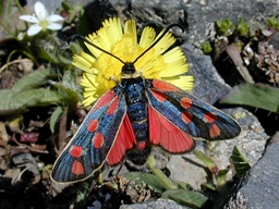 Zygaena anthyllidis